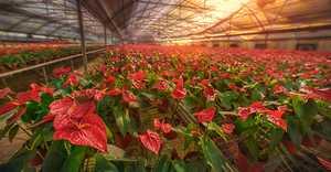 <b>红鹤芋如何栽培种植?</b>