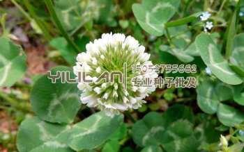 白三叶种子