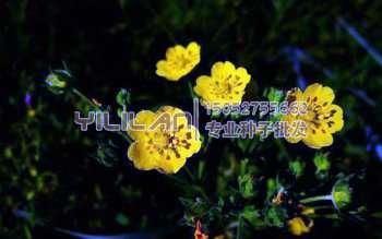 蛇莓委陵菜种子