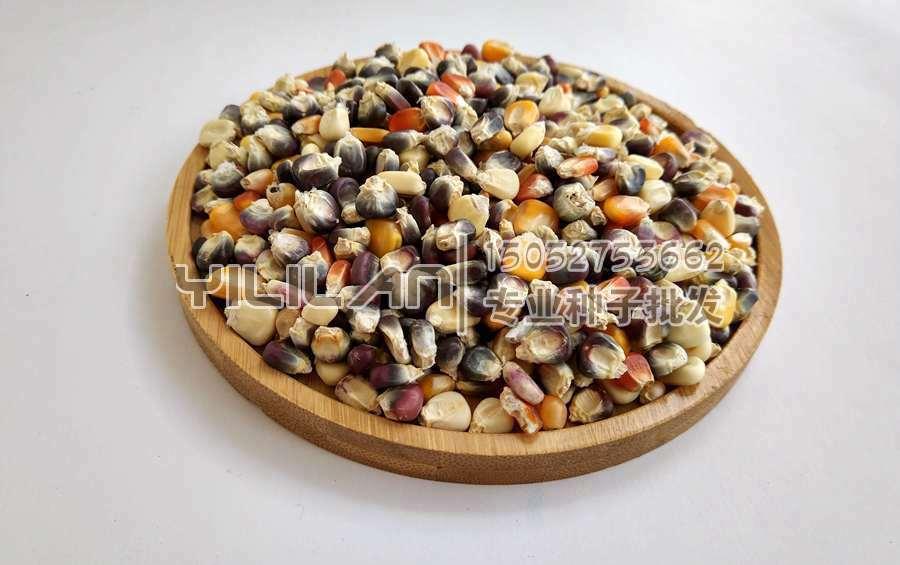 彩糯玉米种子