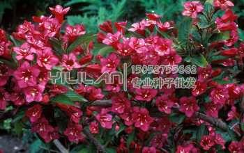 红王子锦带种子
