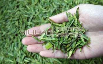茶叶树种子