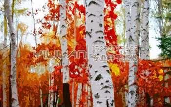 白桦树种子