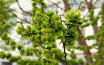 白榆树种子