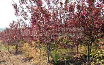紫叶稠李种子