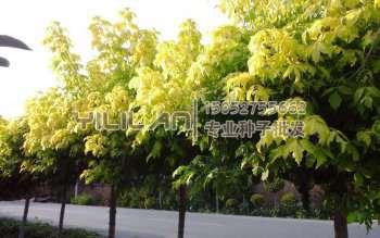 复叶槭种子