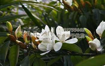 广玉兰种子