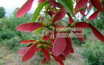 红翅槭种子