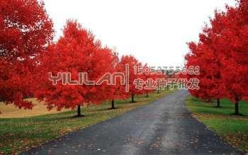 美国红枫种子