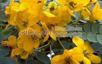 黄花槐种子