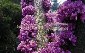 巨紫荆种子