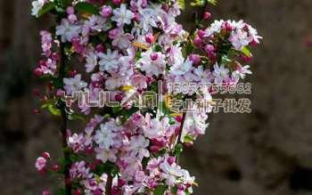 西府海棠种子