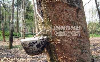 橡胶树种子