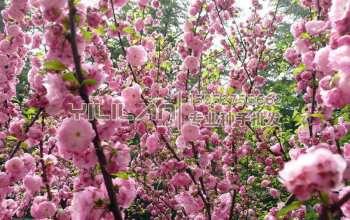 榆叶梅种子