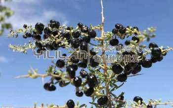 黑枸杞种子