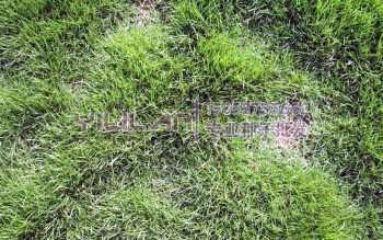百慕大草坪种子