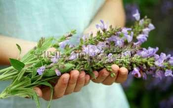 蓝花鼠尾草种子