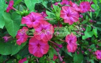 紫茉莉种子