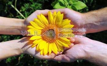 观赏向日葵种子