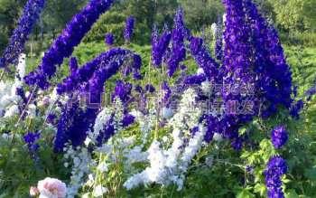 大花飞燕草种子
