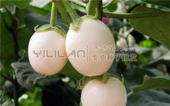 鸡蛋茄种子