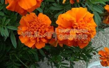 金盏菊种子