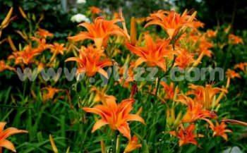 北方常用宿根花卉品种有哪些?