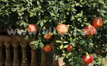 观赏果树在园林景观中的发展现状及主要类型
