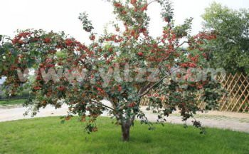 观赏果树在园林应用中问题及应对办法