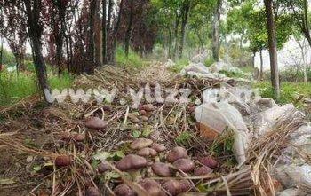 江苏沭阳发展花木林下套种食用菌技术