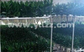 栽种富贵竹 绿色致富