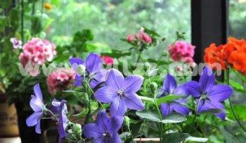 光照如何影响盆花的花芽分化?