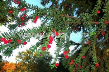 红豆杉有何价值?